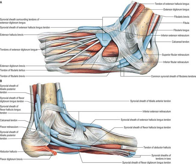 Ankle bursa anatomy