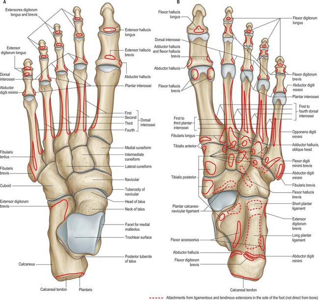 84 5 skeleton of the left foot, with muscle attachments  a, dorsal aspect   b, plantar aspect  the attachments of tibialis posterior to the metatarsals  vary