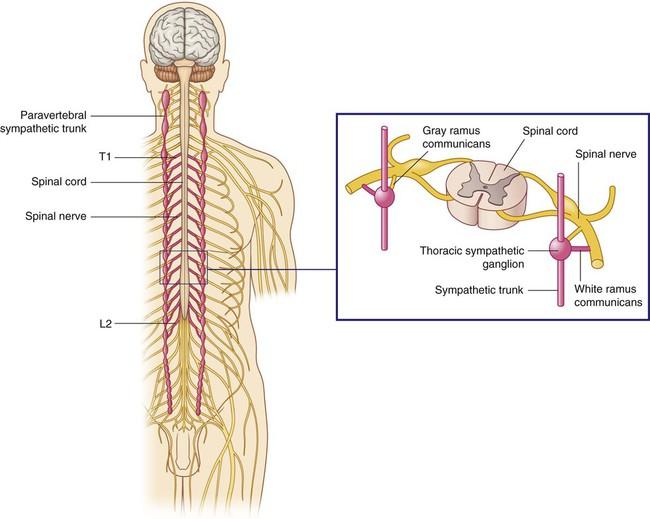 Sympathetic nerve fibers penetrate the