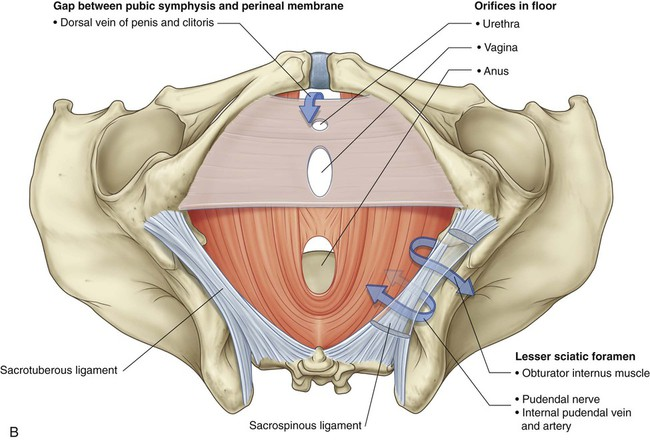 Pelvis and Perineum | Basicmedical Key