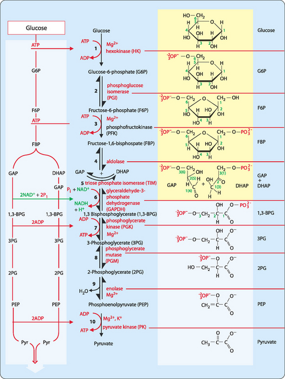 Catabolism Of Macromolecules And Energy Generation Basicmedical Key