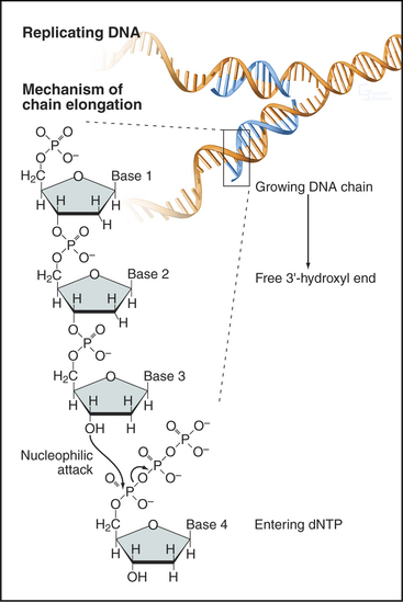 S Phase And Dna Replication Basicmedical Key
