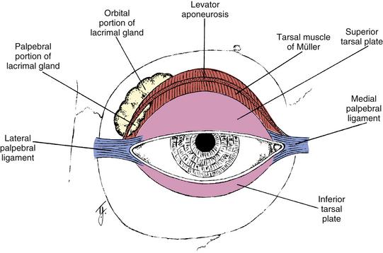 Tarsus Eye Related Keywords - Tarsus Eye Long Tail ...