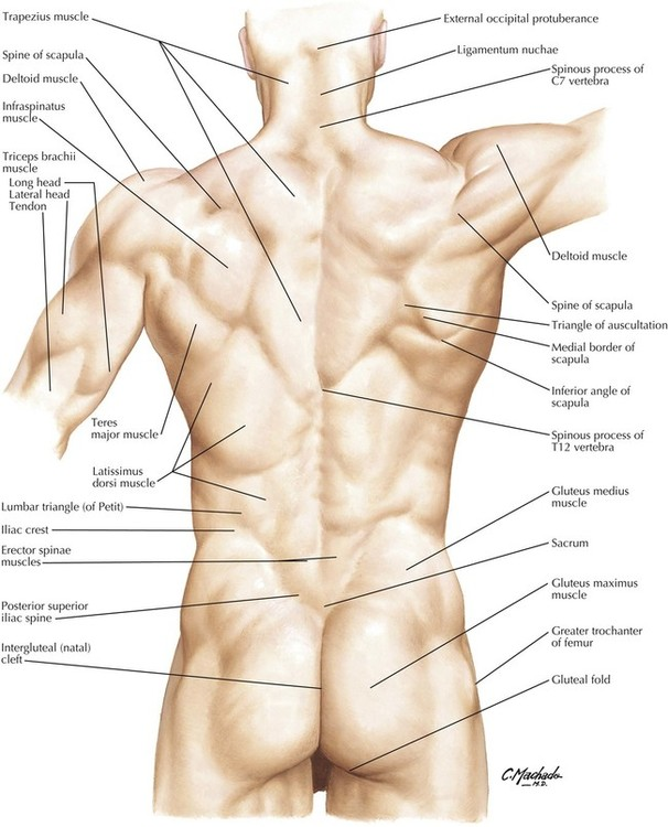 Natal cleft anatomy