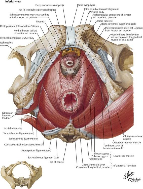 5: Pelvis and Perineum | Basicmedical Key