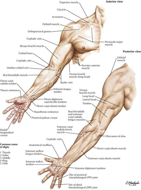 6: Upper Limb   Basicmedical Key