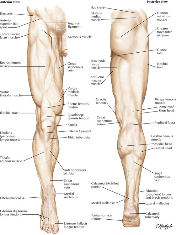 7: lower limb | basicmedical key, Skeleton