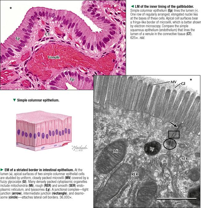 epithelium and exocrine glands basicmedical key. Black Bedroom Furniture Sets. Home Design Ideas