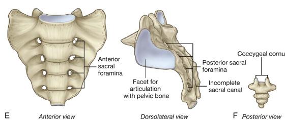 Резултат с изображение за pelvic bone sacrum
