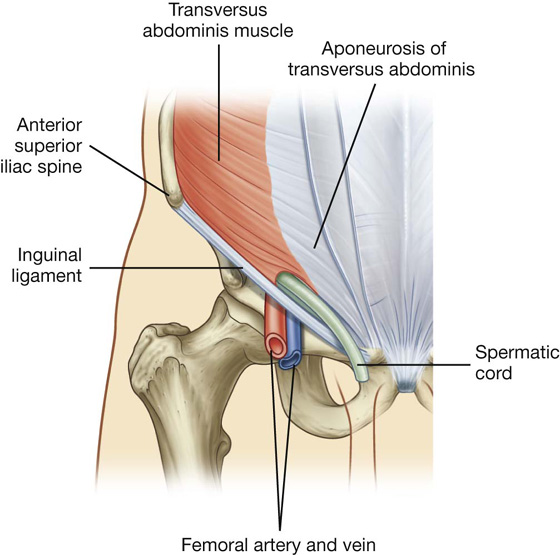Groin tendons and ligaments anatomy