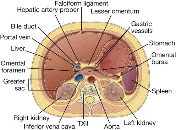 Abdomen basicmedical key image ccuart Images
