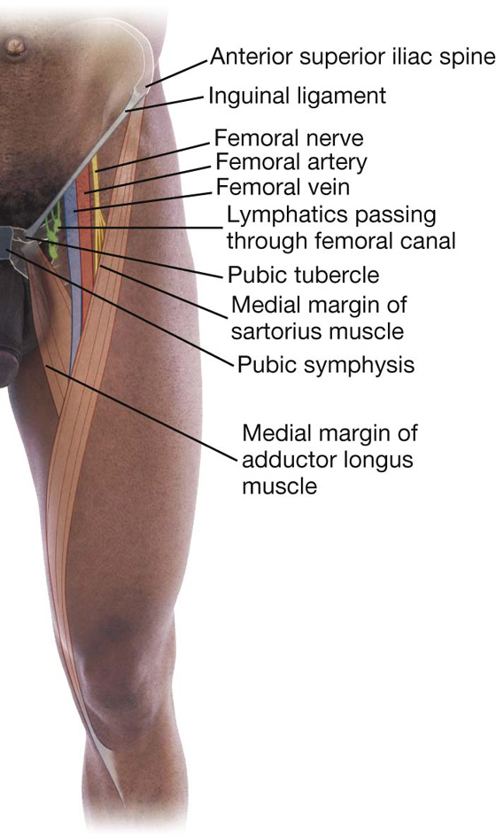 lower limb | basicmedical key, Muscles