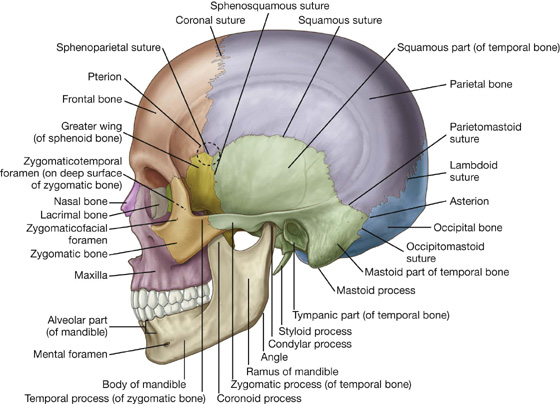 head and neck | basicmedical key, Human Body