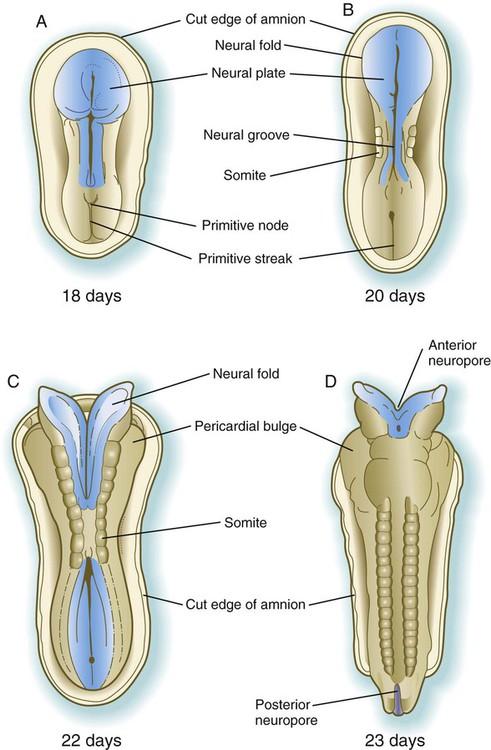 establishment of the basic embryonic body plan | basicmedical key, Muscles