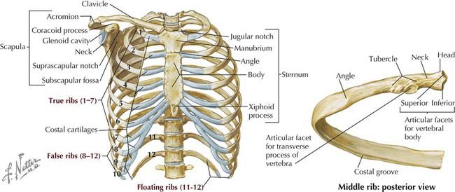Bone Anatomy Thoracic Cavity Diagram - Wiring Library