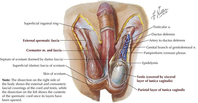 Abdomen | Basicmedical Key