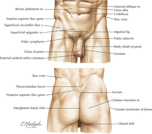 Pelvis And Perineum Basicmedical Key
