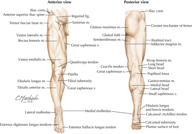Lower Limb | Basicmedical Key