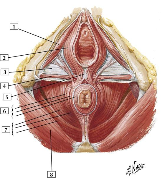 Pelvis And Perineum Cards 5 1 To 5 24 Basicmedical Key