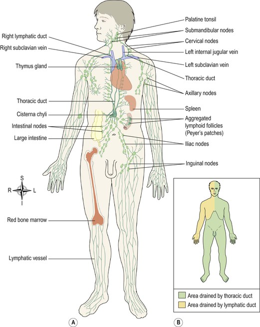 The Lymphatic System Basicmedical Key
