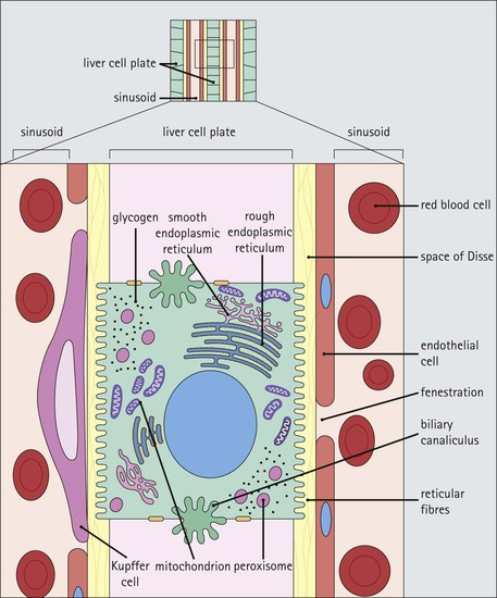 Liver | Basicmedical Key