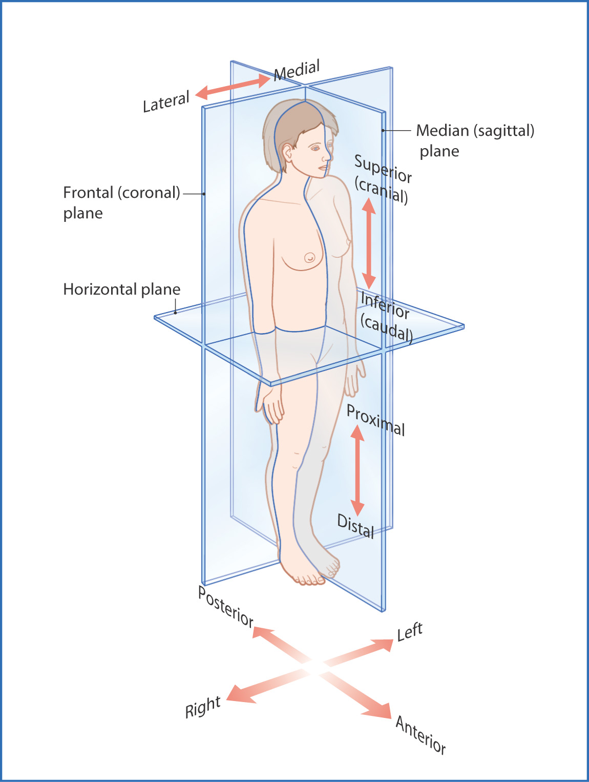 Introduction to Anatomy   Basicmedical Key