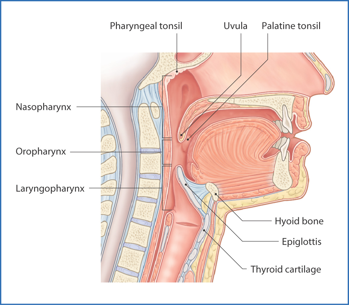 Pharynx and larynx basicmedical key figure 101 divisions of the pharynx pooptronica