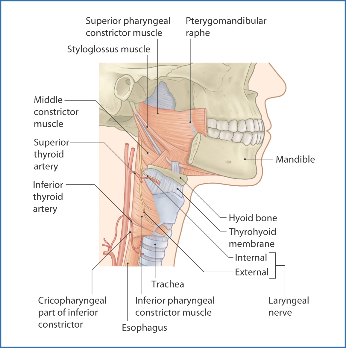 Pharynx and larynx basicmedical key figure 102 pharyngeal constrictor muscles pooptronica