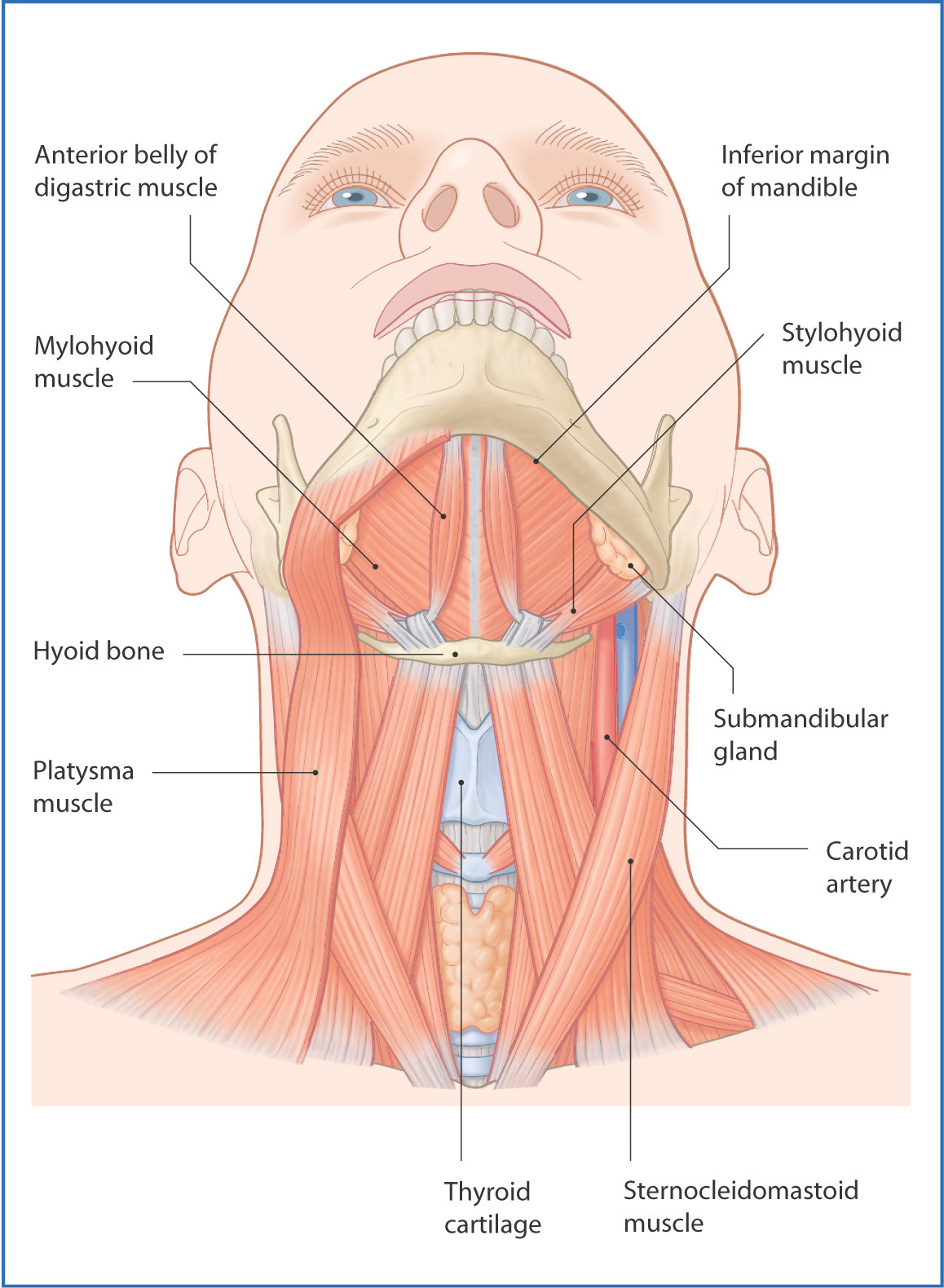 Submandibular Region Basicmedical Key