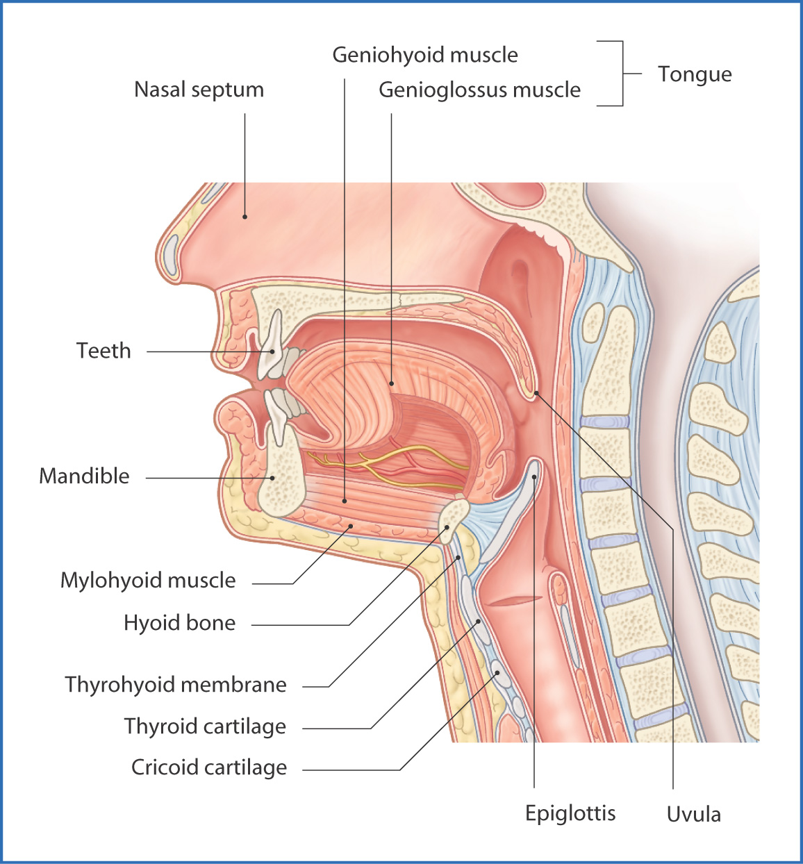 Submandibular Region | Basicmedical Key