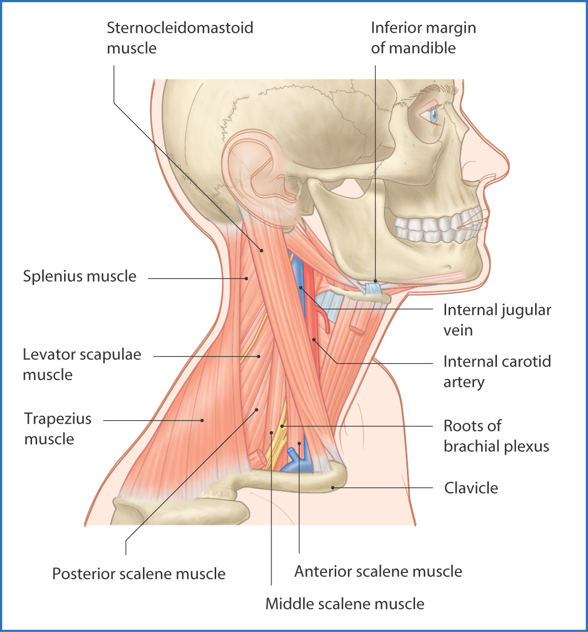 Posterior Triangle Of The Neck And Deep Neck Basicmedical Key