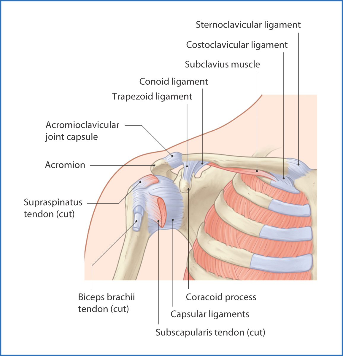 Shoulder Complex | Basicmedical Key