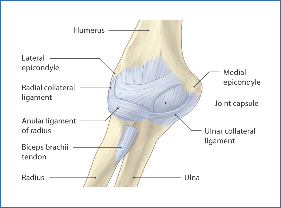 Cubital Fossa And Elbow Joint Basicmedical Key