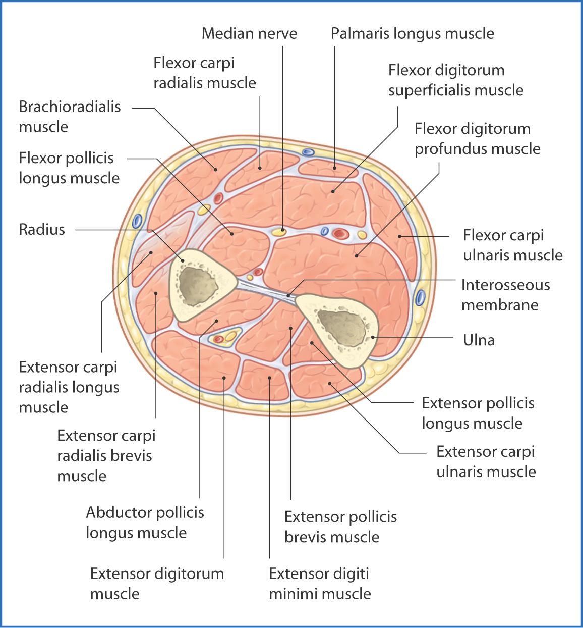 Anterior Forearm   Basicmedical Key