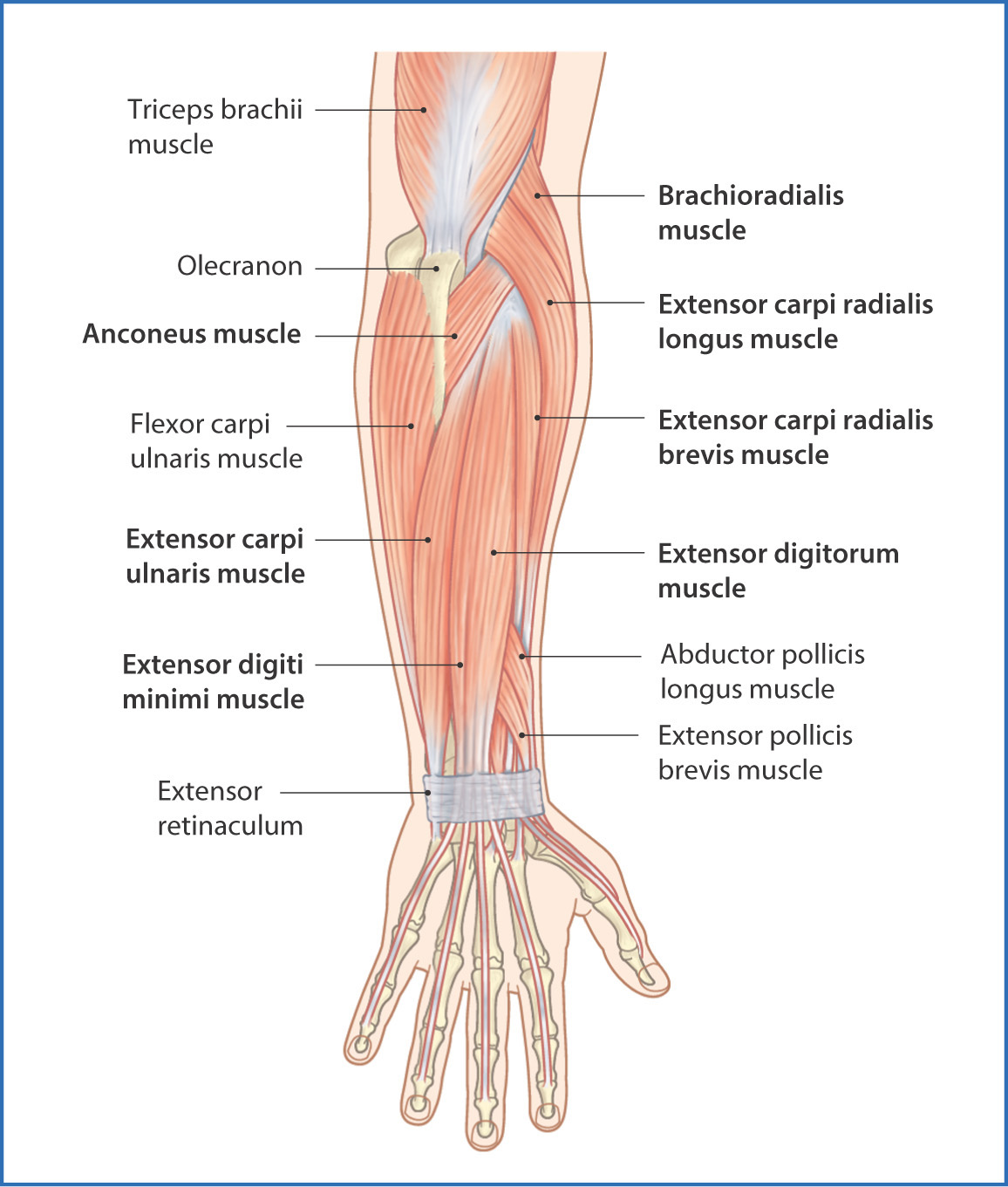 the main function of the forearm muscles (except for the brachioradialis  and supinator) is extension of the wrist and fingers