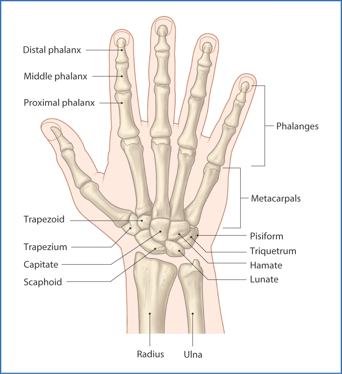 Anatomy of the wrist joint