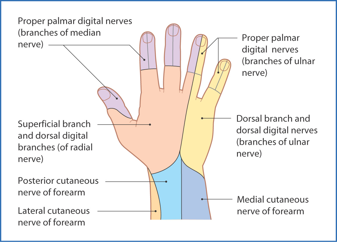 Hand Muscles Basicmedical Key