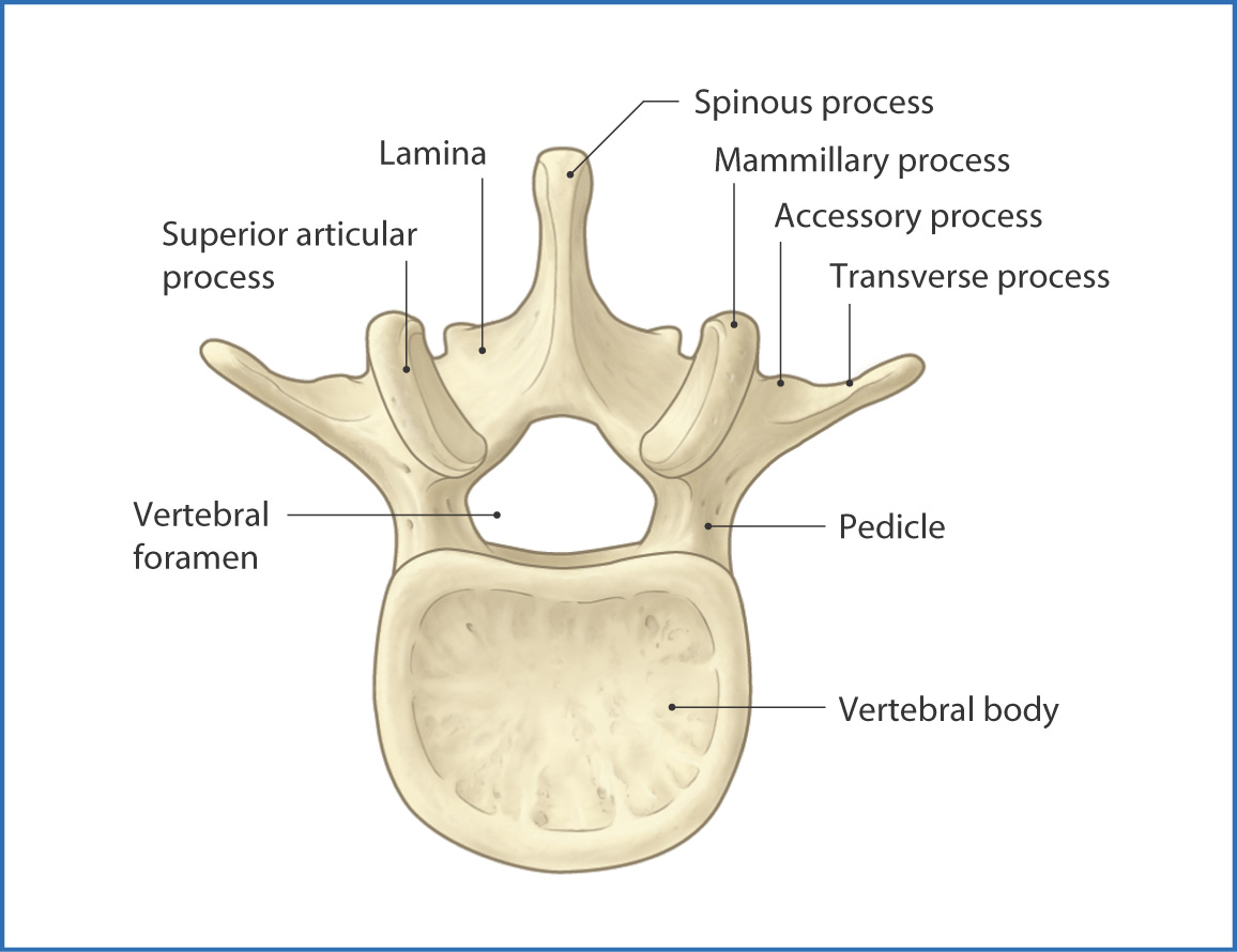 Vertebral Column Basicmedical Key