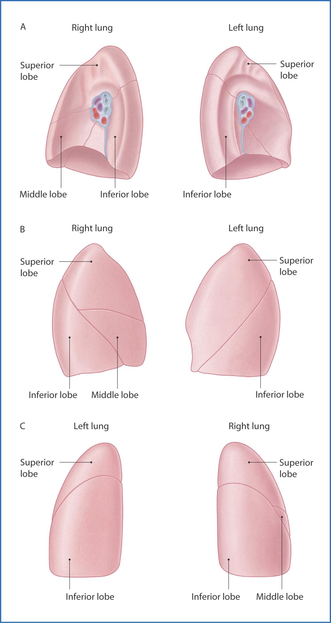 Lungs | Basicmedical Key