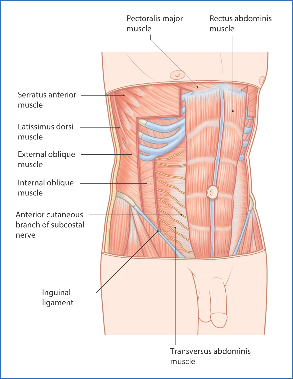 Anterolateral abdominal wall and groin basicmedical key rib cage to the pelvic inlet the rectus abdominis is covered by several layers of fascia derived from three anterolateral abdominal muscles fig ccuart Image collections