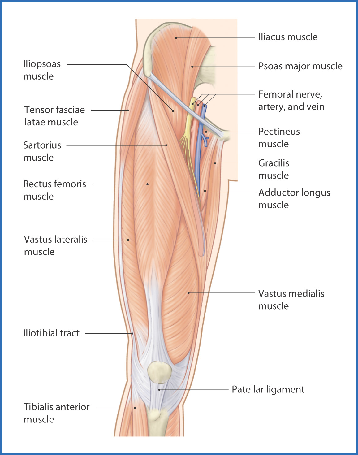 anteromedial thigh | basicmedical key, Muscles