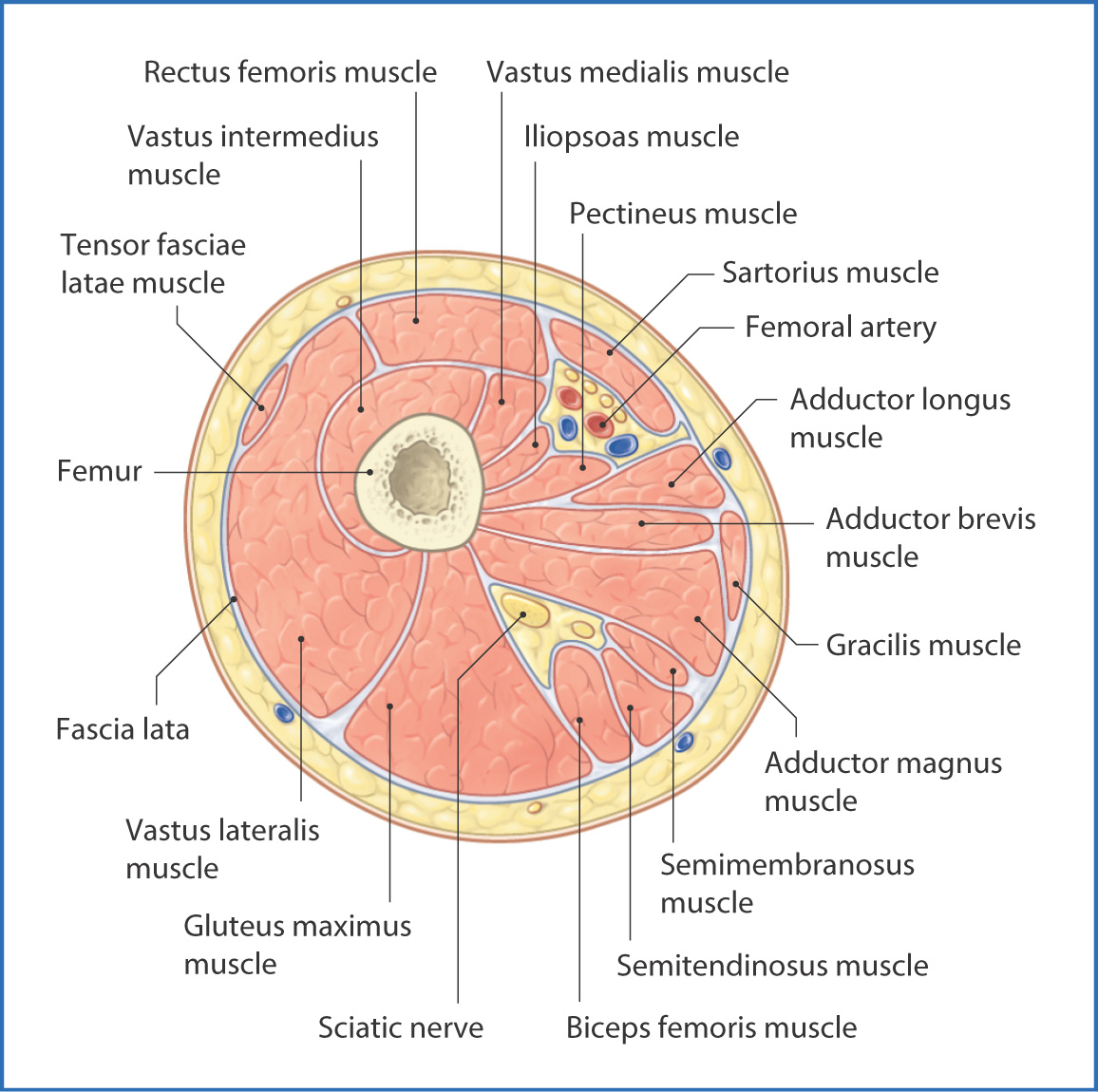 Anteromedial thigh basicmedical key figure 402 cross section of the right thigh viewed from distal to proximal pooptronica Images