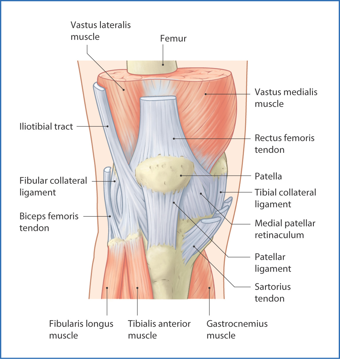 Knee Joint And Popliteal Fossa Basicmedical Key