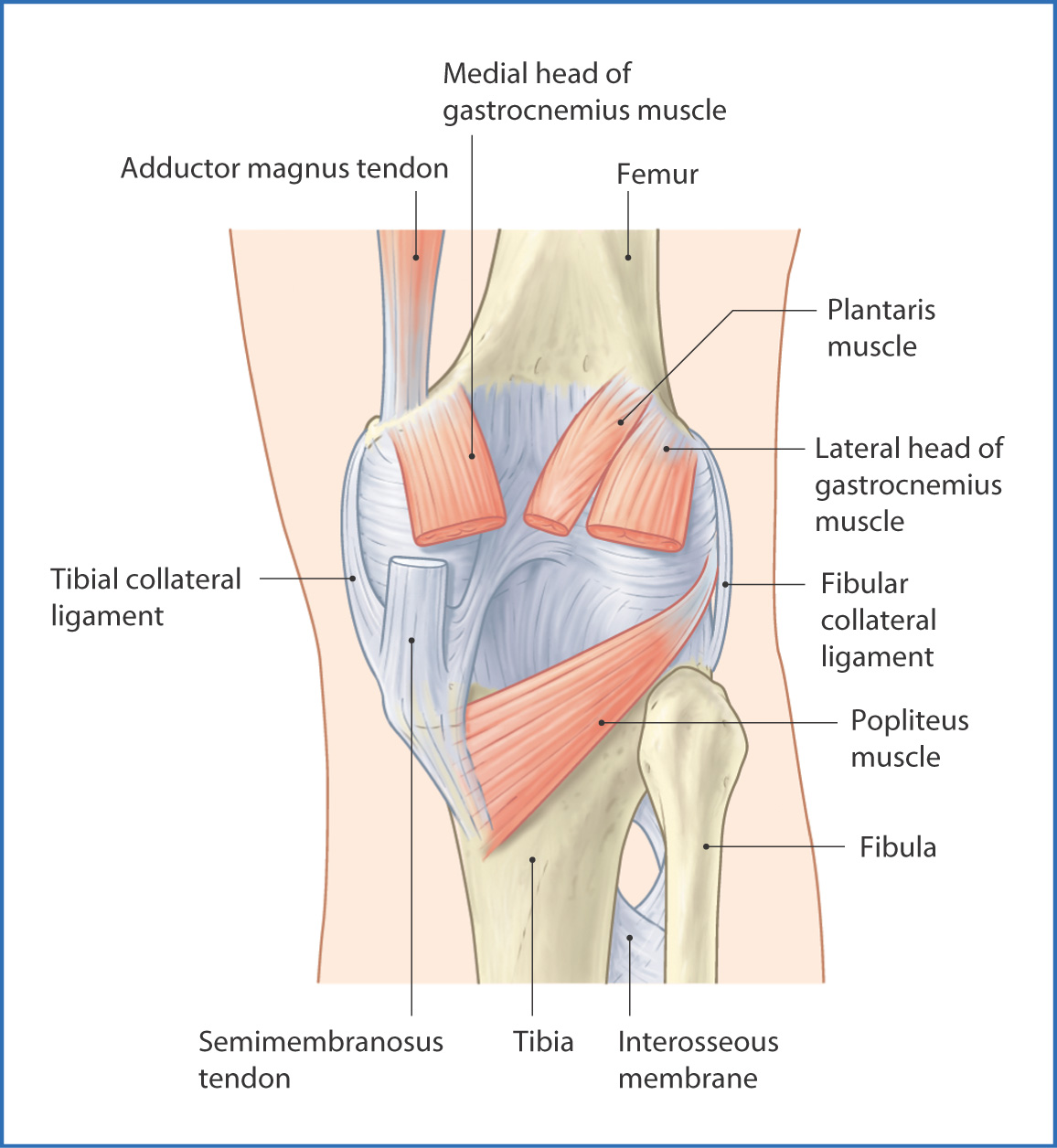 posterior knee anatomy ligaments image collections