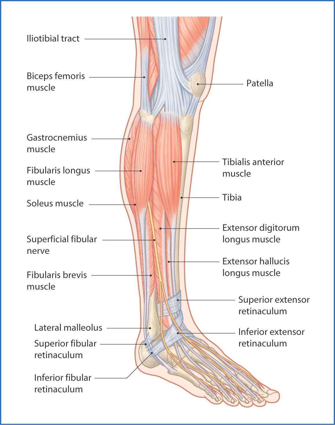Anterolateral Leg | Basicmedical Key