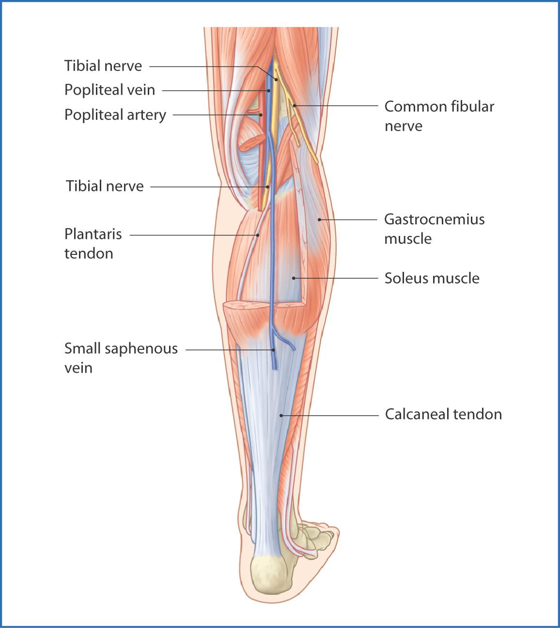 Posterior Leg | Basicmedical Key