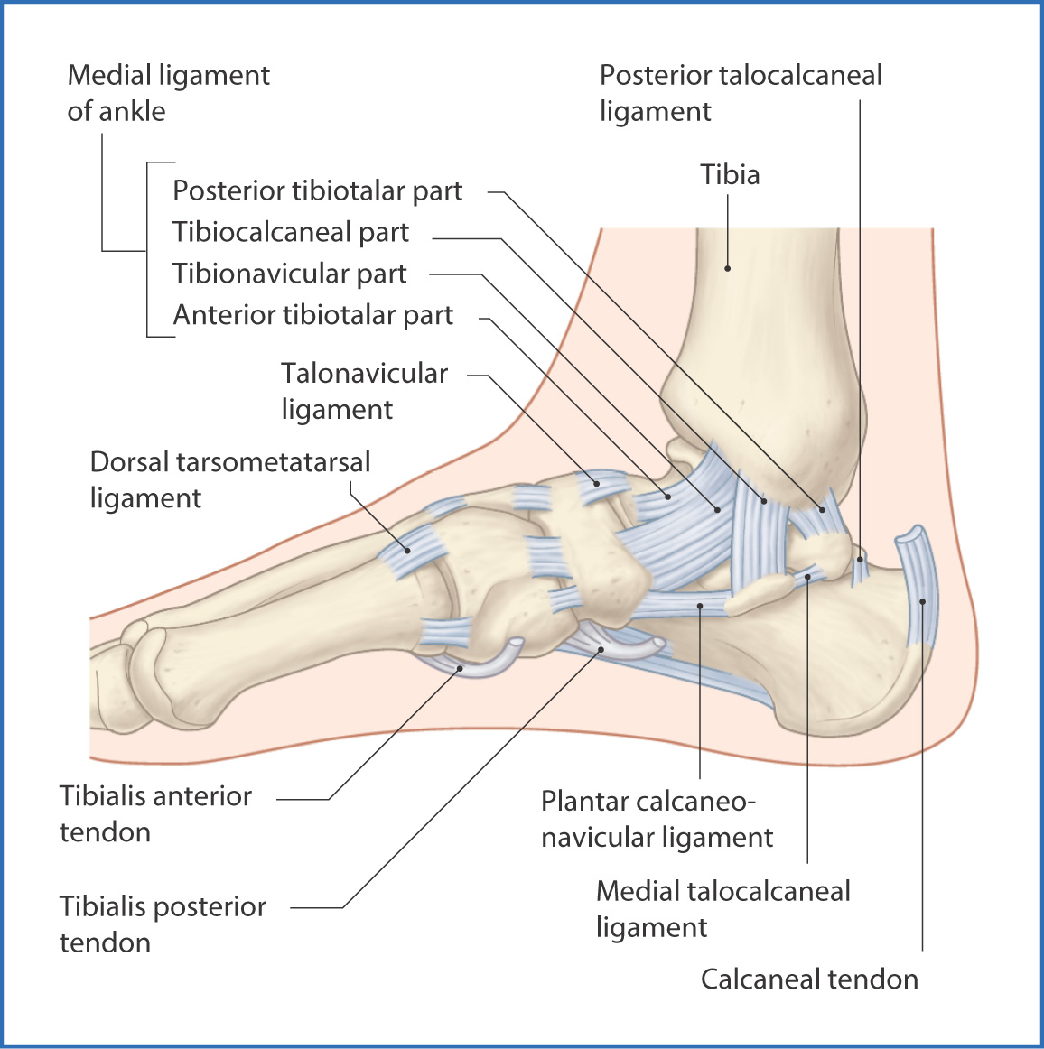 Fracture Pictures - Weston, FL Foot Doctor Pictures of ankle ligaments