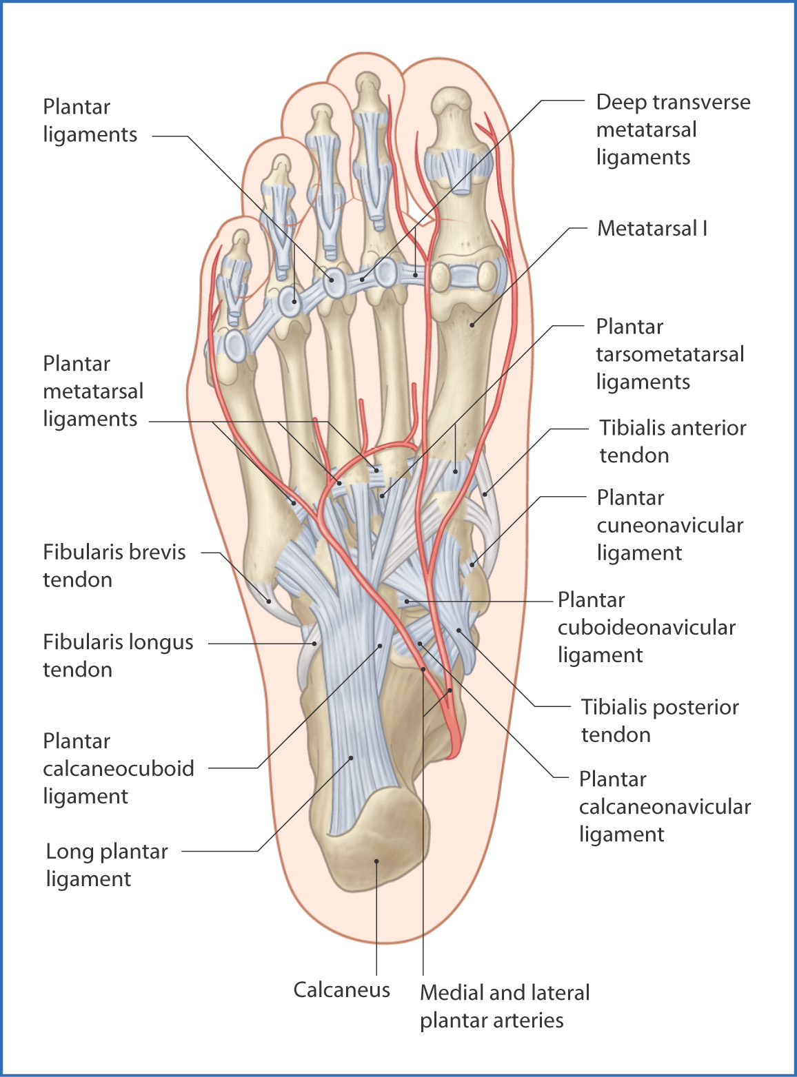 Ankle And Foot Joints Basicmedical Key