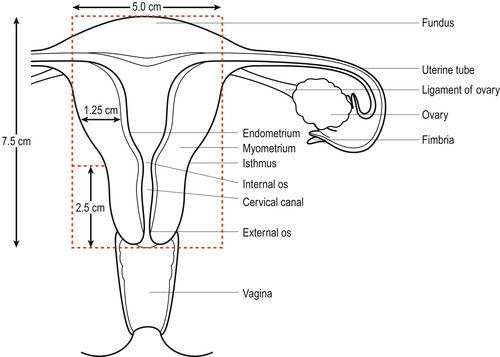 The female reproductive system Basicmedical Key