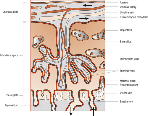 The Placenta Membranes And Amniotic Fluid Basicmedical Key